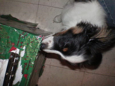 "This is Coyote tearing the wrapping paper off of a birthday girl's prize present.  Just kidding, that's Jingles' show box that needed rewrapping anyway.  But it'd be fun having the dogs unwrap presents right?  I mean if it wasn't by accident.  We could do it by ""accident"" though!"
